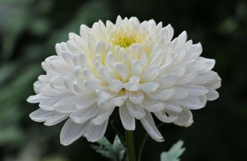 ta hoa cuc 2