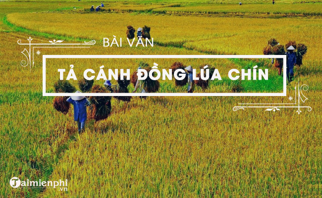ta canh dong lua chin que em